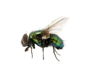 20069216 - green fly isolated on white