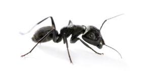 36237825 - carpenter ant, camponotus vagus