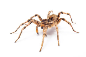 40136775 - spider isolated on white background