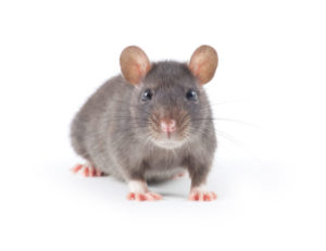 Rodent control in medford NJ